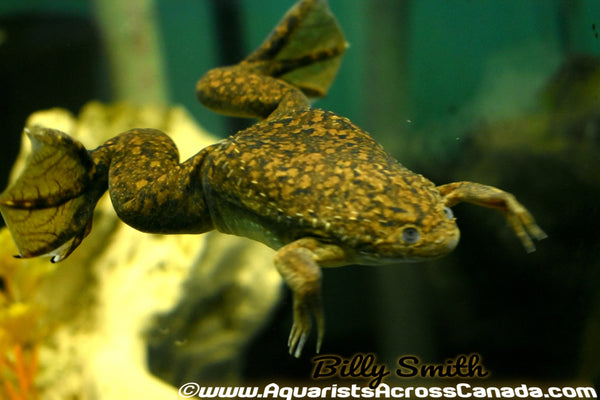 AFRICAN CLAWED FROG (Xenopus laevis) - Aquarists Across Canada