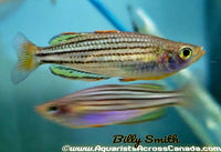 BLACK BANDED RAINBOWFISH (Melanotaenia nigrans) - Aquarists Across Canada