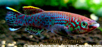 CHRISTY'S LYRETAIL KILLIFISH (Aphyosemion christyi) - Aquarists Across Canada