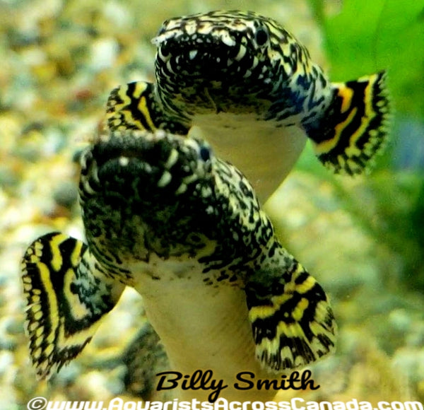 "ORNATE BICHIR (Polypterus ornatipinnis) 4"" - Aquarists Across Canada"