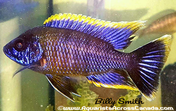 "AULONOCARA .SP LWANDA *HAI REEF* (Housebred, F1) 2"" SEXED - Aquarists Across Canada"