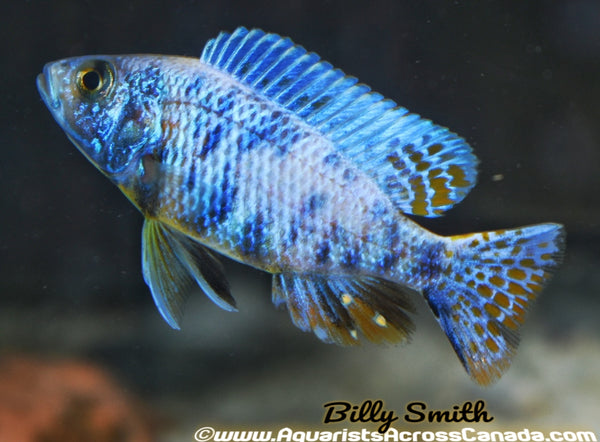 "SCIANOCHROMIS FRYERI ICEBERG *OB* (Housebred, Domestic) 3-3.5"" SEXED - Aquarists Across Canada"