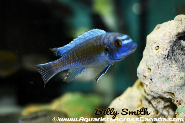 "LABEOTROPHEUS TREWAVASAE ""MPANGA RED"" - Aquarists Across Canada"