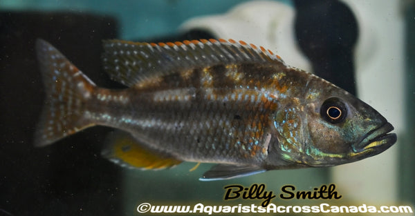 "NIMBOCHROMIS FUSCOTAENIATUS (Housebred, Domestic)1.5-2"" UNSEXED - Aquarists Across Canada"