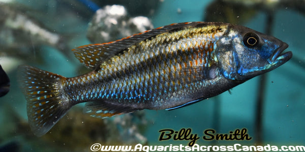 "TYRANNOCHROMIS NIGRIVENTER ""SOUTH"" (Housebred, F1) - Aquarists Across Canada"