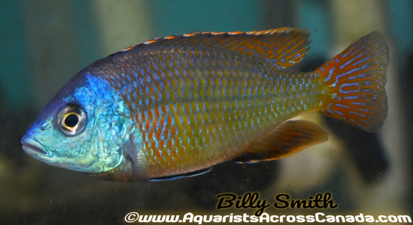 "PROTOMELAS TAENIOLATUS NAMALENJI (Red Empress) *HOUSEBRED, F1* 2.5"" UNSEXED - Aquarists Across Canada"