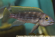 NEOLAMPROLOGUS TETRACANTHUS (Pearl lined Cichlid)