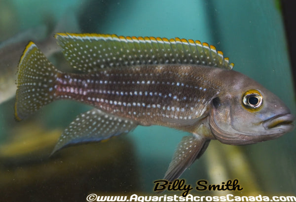 NEOLAMPROLOGUS TETRACANTHUS (Pearl lined Cichlid) - Aquarists Across Canada