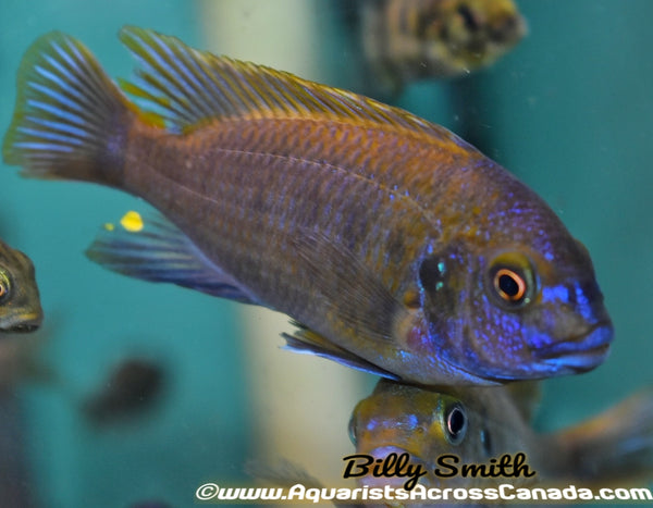 "PETROTILAPIA .SP YELLOW CHIN ""MBENJI"" 4"" SEXED - Aquarists Across Canada"