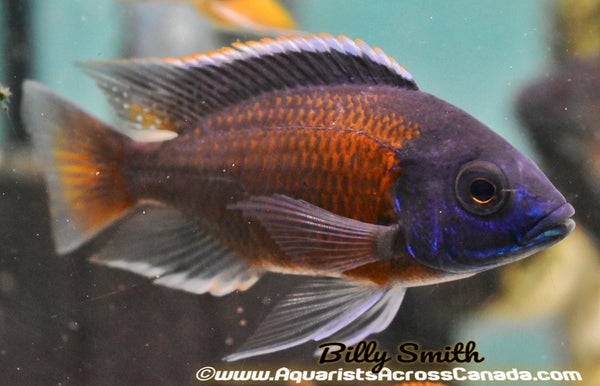 "COPADICHROMIS BORLEYI *KADANGO* (RED FIN BORLEYI) *HOUSEBRED*. DOMESTIC 8"" - Aquarists Across Canada"