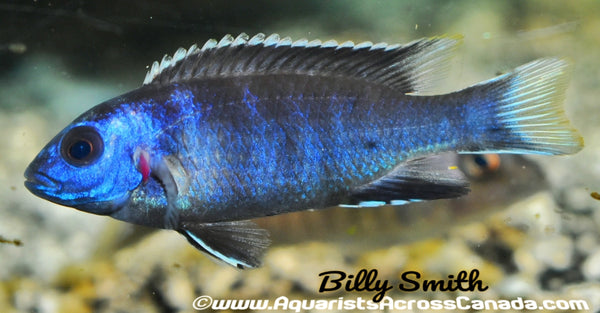 "WHITE TAIL ACEI (PSEUDOTROPHEUS. SP ACEI *NGARA*) 2.5"" - Aquarists Across Canada"