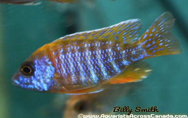 "AULONOCARA. SP ""RUBY"" (RUBY RED) 5.5"" MALE - Aquarists Across Canada"