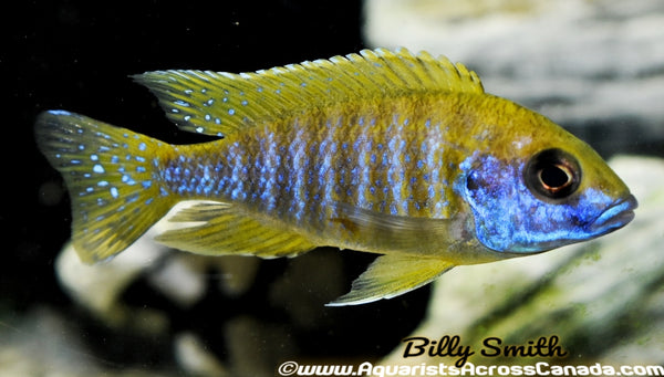 "AULONOCARA BAENSCHI ""BENGA"" (SUNSHINE) (HOUSEBRED F1) 6"" MALE - Aquarists Across Canada"
