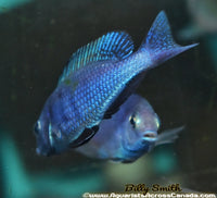 "CYRTOCARA MOORII *BLUE DOLPHIN* (HOUSEBRED, DOMESTIC) 3"" - Aquarists Across Canada"
