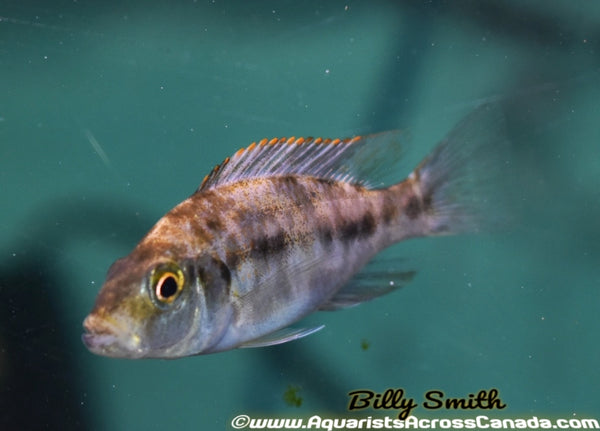 "DIMIDOCHROMIS COMPRESSICEPS. SP ""OB"" (HOUSEBRED, DOMESTIC) 3"" SEXED - Aquarists Across Canada"