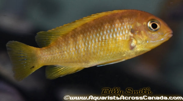 "TROPHEOPS .SP ""CHILUMBA"" (RED TOP TROPHEOPS) 3"" SEXED - Aquarists Across Canada"
