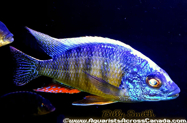 "PROTOMELAS. SP STEVENI *TAIWAN* (HOUSEBRED, DOMESTIC) 2"" UNSEXED - Aquarists Across Canada"