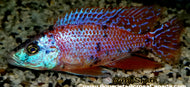 DIMIDOCHROMIS COMPRESSICEPS. SP
