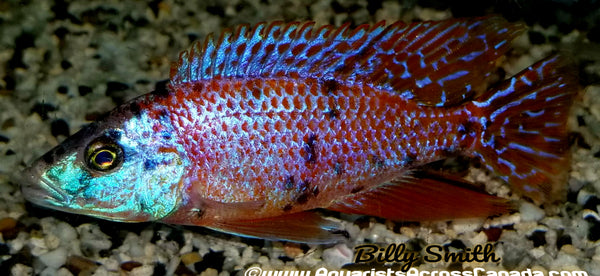 "DIMIDOCHROMIS COMPRESSICEPS. SP ""OB"" (HOUSEBRED, DOMESTIC) 6"" - Aquarists Across Canada"