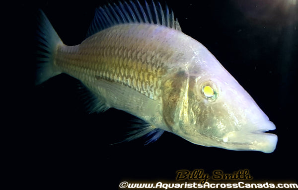 "DIMIDOCHROMIS COMPRESSICEPS. SP *ALBINO* (HOUSEBRED, DOMESTIC) 2.5"" UNSEXED - Aquarists Across Canada"