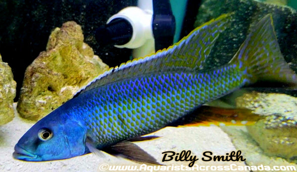 "CHAMPSOCHROMIS CAERULEUS *MALAWI TROUT* (HOUSEBRED, F1) 3"" SEXED - Aquarists Across Canada"