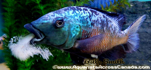 "FOSSOROCHROMIS ROSTRATUS *SAND DIVER* (HOUSEBRED) 1"" UNSEXED - Aquarists Across Canada"