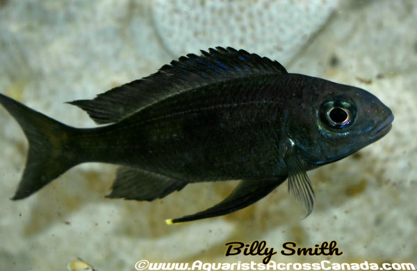 "OPHTHALMOTILAPIA BOOPS ""NKONDE"" - Aquarists Across Canada"