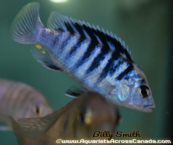 LABIDOCHROMIS CHISUMULAE *CLOWN LAB* - Aquarists Across Canada