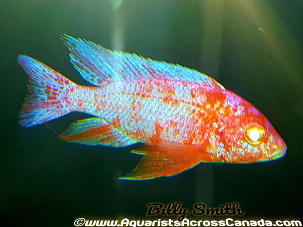 "DRAGONBLOOD *ALBINO* HOUSEBRED. DOMESTIC 1.5-2"" UNSEXED - Aquarists Across Canada"