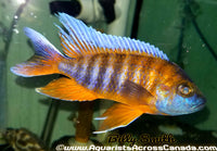 "AULONOCARA SP ""EUREKA RED"" (DOMESTIC HOUSEBRED) 3.5"" MALE - Aquarists Across Canada"