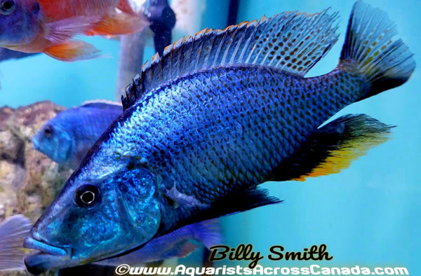 "DIMIDOCHROMIS COMPRESSICEPS *EYE BITER* (DOMESTIC, HOUSEBRED) 7"" MALE - Aquarists Across Canada"