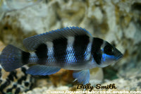 NEOLAMPROLOGUS TRETOCEPHALUS (FIVE BAR) - Aquarists Across Canada