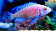 XYSTOCHROMIS .SP FLAMEBACK