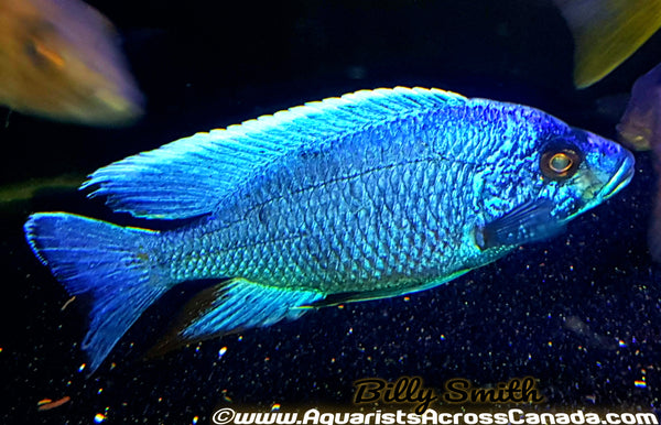 "SCIAENOCHROMIS FRYERI *electric blue* (HOUSEBRED, DOMESTIC) 4"" MALE - Aquarists Across Canada"