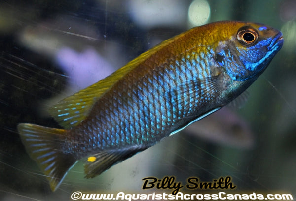 "GEPHYROCHROMIS LAWSI ""NKHATA BAY"" 3"" SEXED - Aquarists Across Canada"