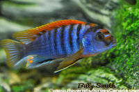 "LABIDOCHROMIS .SP ""HONGI"" (RED TOP HONGI) - Aquarists Across Canada"