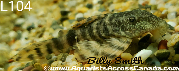 L104 CLOWN PLECO (Panaqolus maccus) - Aquarists Across Canada