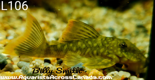 L106 SPOTTED ORANGE SEAM (Hemiancistrus guahiborum) - Aquarists Across Canada