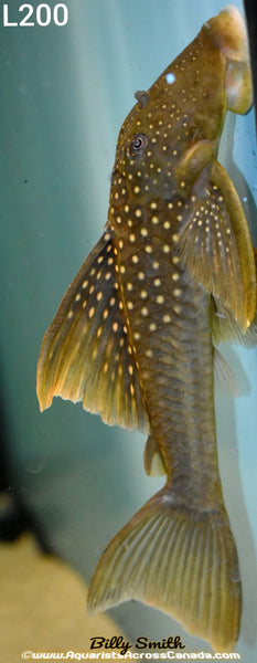 L200 HIGH FIN GREEN PHANTOM PLECO (Hemiancistrus subviridis) - Aquarists Across Canada