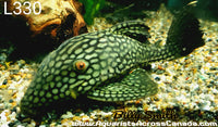 L330 WATERMELON PLECO (Panaque cf. nigrolineatus) - Aquarists Across Canada