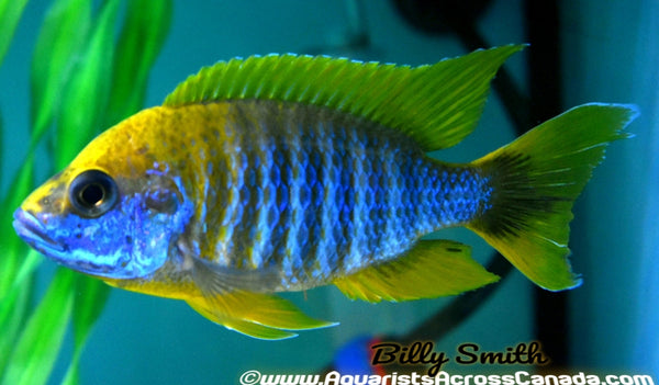 "AULONOCARA JACOBFREIBERGI MAMELA ""UNDU REEF"" (LEMON JAKE) (HOUSEBRED, F1) 1-1.5"" UNSEXED - Aquarists Across Canada"