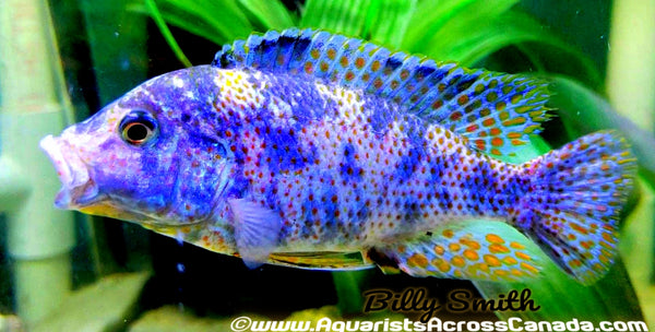 "NIMBOCHROMIS LIVINGSTONII. SP ""OB"" (HOUSEBRED, DOMESTIC) - Aquarists Across Canada"