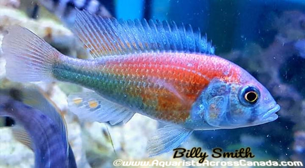 "PTYOCHROMIS .SP ""SALMON"" (HIPPO POINT SALMON) - Aquarists Across Canada"