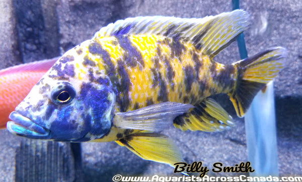 "AULONOCARA .SP ""ORANGE BLOTCH"" (HOUSEBRED, DOMESTIC) 3-4"" SEXED - Aquarists Across Canada"