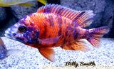 "AULONOCARA .SP ""ORANGE BLOTCH"" (HOUSEBRED, DOMESTIC) 1.5"" UNSEXED - Aquarists Across Canada"