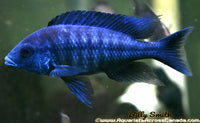 PROTOMELAS ANNECTENS (WILD CAUGHT) - Aquarists Across Canada