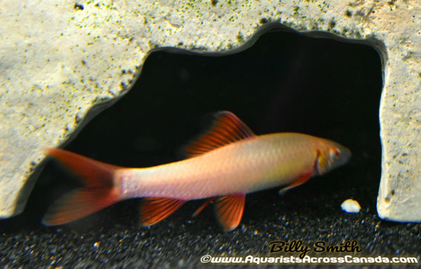 RAINBOW SHARK *ALBINO* (Epalzeorhynchos frenatum) - Aquarists Across Canada