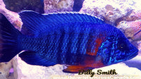 "AULONOCARA HANSBAENSCHI FORT MAGUIRE *RED SHOULDER* (HOUSEBRED F1) 2"" UNSEXED - Aquarists Across Canada"