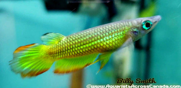 STRIPED PANCHAX KILLIFISH (Aplocheilus lineatus) - Aquarists Across Canada