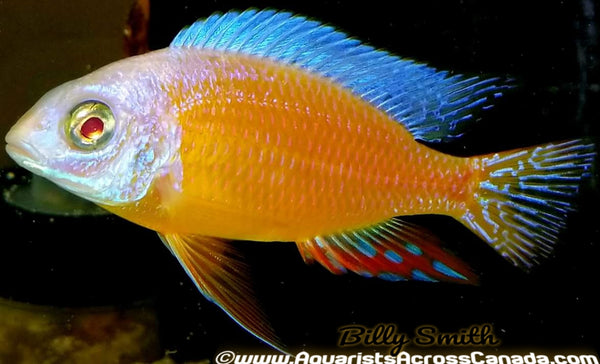 "PROTOMELAS. SP STEVENI TAIWAN *TAIWAN REEF ALBINO* (HOUSEBRED, DOMESTIC) 3.5-4"" MALE - Aquarists Across Canada"